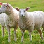 sheep-150x150