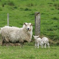 Stock Photography. A Mother Sheep And Her Spring L...FPR106688. Stock Photography. A mother sheep and her spring lambs on a farm in Huia, West Auckland, October 8th 2004. MANDATORY CREDIT FOTOPRESS/Sandra Teddy.